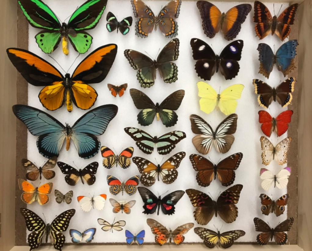 Butterflies collection at the Peabody Museum, Yale University